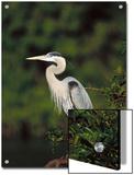 Great Blue Heron (Ardea Herodias) Perching, Florida Prints by Tom Vezo/Minden Pictures