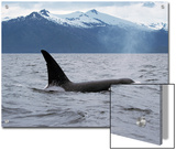Killer Whale (Orcinus Orca) Surfacing Beneath Mountain Range, Inside Passage, Alaska Posters by Konrad Wothe
