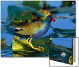 Purple Gallinule (Porphyrio Martinicus) Standing on Lily Pads, Everglades Nat'l Park, Florida Prints by Tom Vezo/Minden Pictures