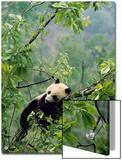A Young Male Giant Panda, Ailuropoda Melanoleuca, Awaits its Mother Prints by Lu Zhi