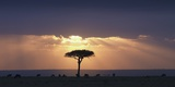 An Acacia Tree and Wildebeest under a Sunset; Kenya, Africa Photographic Print by  Design Pics Inc