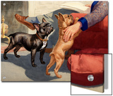 Man Pets His French Bulldogs Print by Walter Weber