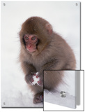 Japanese Macaque or Snow Monkey (Macaca Fuscata) Baby Playing with Snowball, Japan Prints by Konrad Wothe