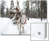 A Reindeer Sled Ride Posters by Alison Wright