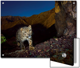 A remote camera captures an endangered snow leopard Posters by Steve Winter
