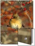 Northern Cardinal (Cardinalis Cardinalis) Female Perching in Bittersweet, Long Island, New York Poster by Tom Vezo/Minden Pictures