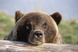 Brown Bear Resting on Log Alaska Wildlife Converation Center Summer Sc Alaska Photographic Print by  Design Pics Inc