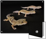 Three Female Leopard Geckos at the Zoo, Sunset Zoo, Kansas Prints by Joel Sartore