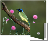 Green Jay (Cyanocorax Yncas) Perching, Rio Grande Valley, Texas Prints by Tom Vezo/Minden Pictures