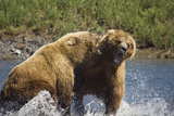 Two Brown Bears Fight over Salmon at Mikfik Creek During Summer in Southwest Alaska Fotoprint van  Design Pics Inc