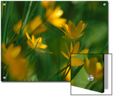 Yellow Spring Flowers, Jasmund National Park, Ruegen, Germany Posters by Christian Ziegler