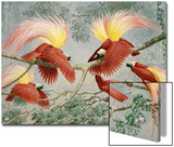 Four Rival Male Greater Birds of Paradise Vie for Female's Attention Posters by Walter Weber
