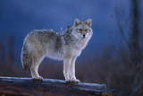 Coyote Standing on Log Alaska Wildlife Conservation Center Winter Sc Alaska Photographic Print by  Design Pics Inc