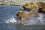 Mother Brown Bear and Her Cubs Chase Salmon at Mikfik Creek During Summer in Southwest Alaska Fotoprint van  Design Pics Inc