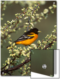 Baltimore Oriole (Icterus Galbula) Male Perching in Tree, Long Island, New York Art by Tom Vezo/Minden Pictures