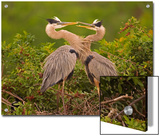 Great Blue Heron (Ardea Herodias) Pair Interacting on Nest in Mangroves, Venice, Florida Prints by Tom Vezo/Minden Pictures