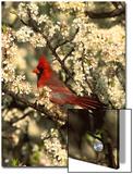 Northern Cardinal (CardinalisCardinalis) in Beach Plum (PrunusMaritima) Tree, Long Island, New York Posters by Tom Vezo/Minden Pictures