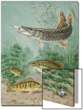 Northern Pike Bites Hook, Black Bass and Yellow Perch Swim Nearby Poster by Walter Weber