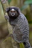 A Black Tufted Ear Marmoset, Callithrix Penicillata, in the Atlantic Forest Photographic Print by Kike Calvo