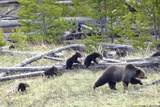Sow Grizzly Bear (Ursus Arctos Horribilis) Leads and Guides Her Four Cubs (Extremely Rare) Photographic Print by  Design Pics Inc