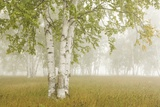 Birch Trees in the Fog; Thunder Bay, Ontario, Canada Photographic Print by  Design Pics Inc