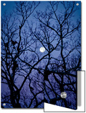 The Full Moon Peaks Between the Bare Branches of a White Oak Tree Poster by Amy & Al White & Petteway