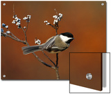 Black-Capped Chickadee (Parus Atricapillus) in Bayberry Bush, Long Island, New York Print by Tom Vezo/Minden Pictures