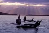 Orca Pod in Lynn Canal with Sunrays on Chilkat Mtn Ak Se Summer Evening Fotografie-Druck von  Design Pics Inc