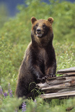 Brown Bear Standing Upright on Log Captive Alaska Wildlife Conservation Center Southcentral Alaska Photographic Print by  Design Pics Inc