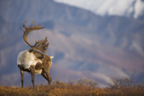 Bull Caribou on Autumn Tundra in Denali National Park, Interior Alaska Photographic Print by  Design Pics Inc