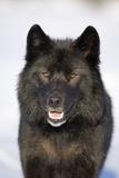 Close-Up Archipelago Wolf Fotografisk tryk af Design Pics Inc