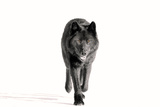 Archipelago Wolf Photographic Print by  Design Pics Inc