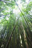 Hawaii, Maui, Hana, a Path Through Green Bamboo Photographic Print by  Design Pics Inc