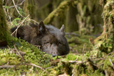 Wolf Rests in a Mossy Bed on the Forests Floor of the Tongass National Forest in Southeast Alaska Photographic Print by  Design Pics Inc