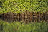 Mangroves Reflected in the Water at Black Turtle Cove Photographic Print by  Design Pics Inc