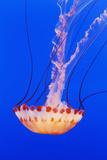 California, Monterey, an Orange Jellyfish (Cnidarian) in the Monterey Aquarium Fotografisk tryk af  Design Pics Inc