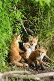 Red Fox Kits Playing Close to their Den During Summer in Alaska Photographic Print by  Design Pics Inc