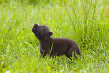 Young Wolf Pup in Meadow Instinctively Howling Minnesota Spring Captive Photographic Print by  Design Pics Inc