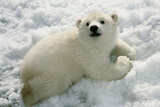 Polar Bear Cub Playing in Snow Alaska Zoo Reproduction photographique par  Design Pics Inc