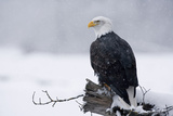 Bald Eagle Perched on Log During Snow Storm Chilkat River Near Haines Alaska Southeast Winter Fotodruck von  Design Pics Inc