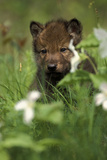 Captive Wolf Pups in Grass Minnesota Photographic Print by  Design Pics Inc
