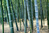 Bamboo Tree Forest, Close Up Photographic Print by  Design Pics Inc