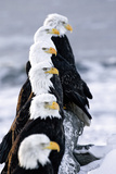 Six Bald Eagles Perched in a Row on Snow Covered Log Homer Spit Kachemak Bay Kenai Peninsula Alaska Photographic Print by  Design Pics Inc