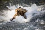 Brown Bear Dives into Brooks River for Salmon Katmai National Park Southwest Alaska Summer Fotoprint van  Design Pics Inc