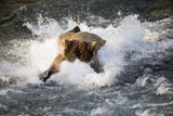 Brown Bear Dives into Brooks River for Salmon Katmai National Park Southwest Alaska Summer Photographic Print by  Design Pics Inc