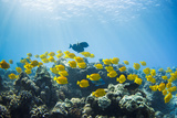 Hawaii, Lanai, School of Yellow Tangs (Zebrasoma Flavescens) in the Hulupoe Bay Marine Preserve Reproduction photographique par  Design Pics Inc