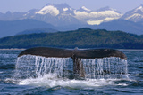 Humpback Whale Tail on Surface Just before Diving Inside Passage Alaska Southeast Summer Reprodukcja zdjęcia autor Design Pics Inc