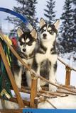 Two Siberian Husky Puppies Sitting in Dog Sled in Snow Alaska Fotografisk tryk af  Design Pics Inc