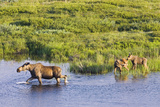 Moose Cow and Twin Calves Wading in Pond at Grassy Pass Denali National Park Interior Alaska Summer Photographic Print by  Design Pics Inc