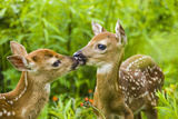 Twin White-Tailed Deer Fawns Nuzzling Together in Meadow Minnesota Spring Captive Photographic Print by  Design Pics Inc